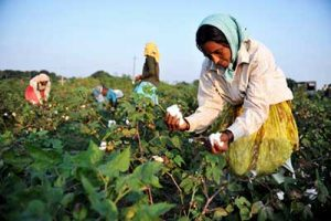 رکود در صادرات پنبه هند و کاهش سهم بازار پنبه و الیاف در این کشور