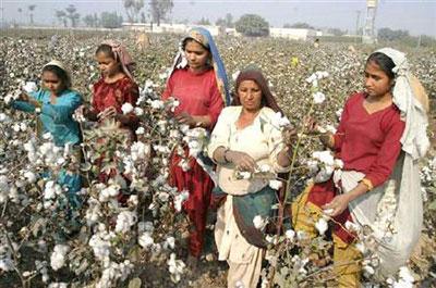 کاهش قیمت پنبه در بازار پنبه محلی پاکستان