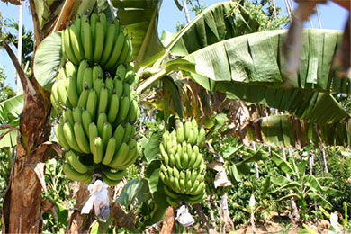 New solution unearthed to spinning banana stems textile fibers