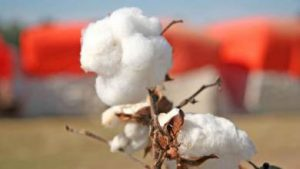 Brazilian cotton index up 5.66% in August