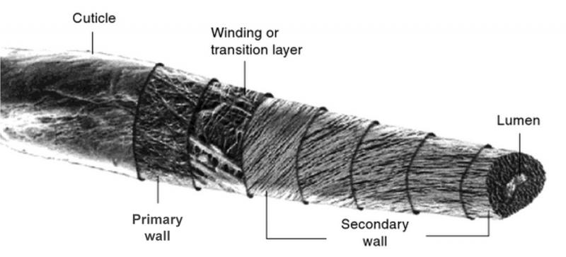 ساختار الیاف پنبه