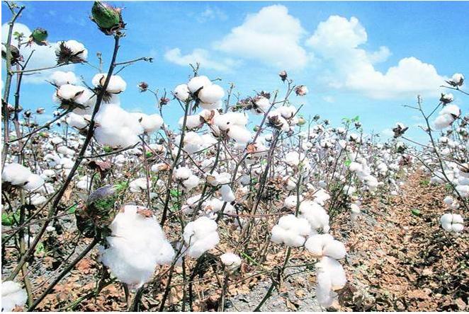 آمار سطح زیر کشت و تولید پنبه در هند